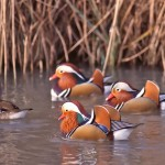 Small Mandarin Ducks In The Water Wallpaper