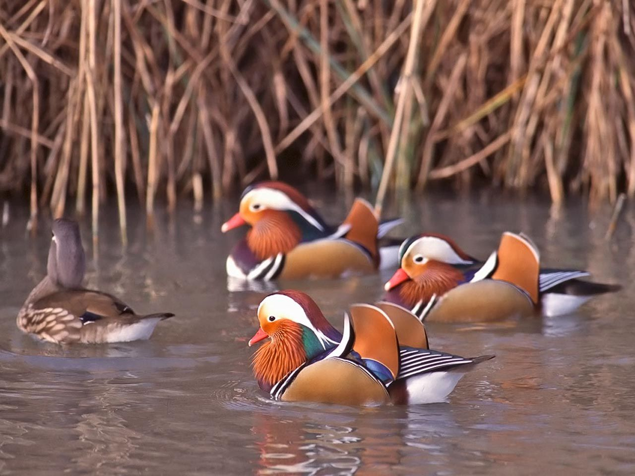 Small Mandarin Ducks In The Water Wallpaper 1280x960