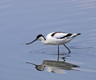 Solo Avocet Feeding In The Water Wallpaper