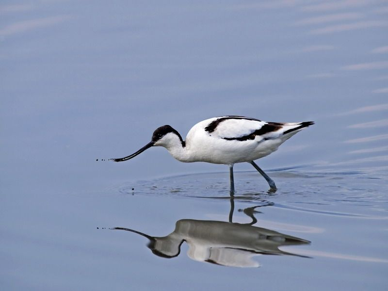 Solo Avocet Feeding In The Water Wallpaper 800x600