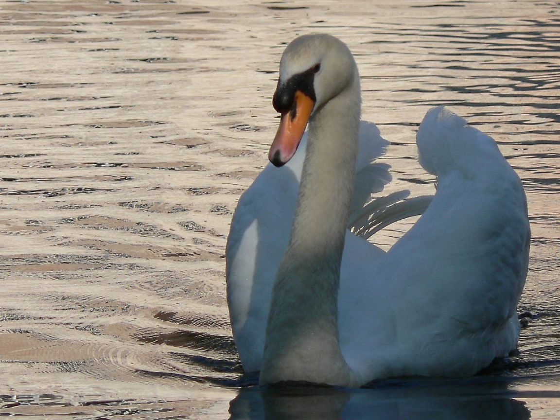 Swan Front Close Up Wallpaper 1152x864