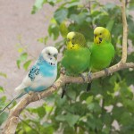 Three African Lovebirds On Tree Branch Wallpaper