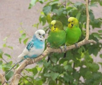 Three African Lovebirds On Tree Branch Wallpaper