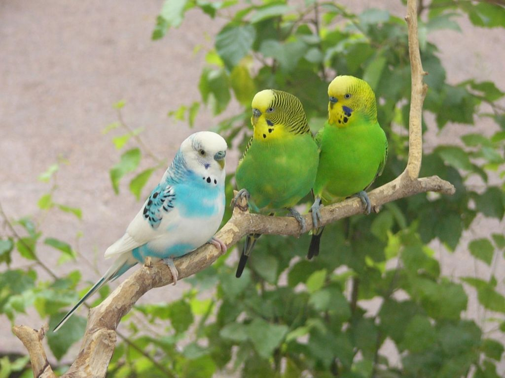 Three African Lovebirds On Tree Branch Wallpaper 1024x768