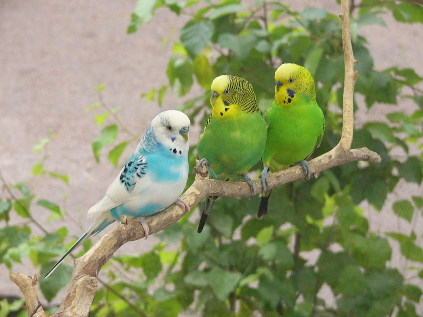 Three African Lovebirds On Tree Branch Wallpaper 1400x1050