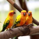 Three Yellow Lovebirds Wallpaper