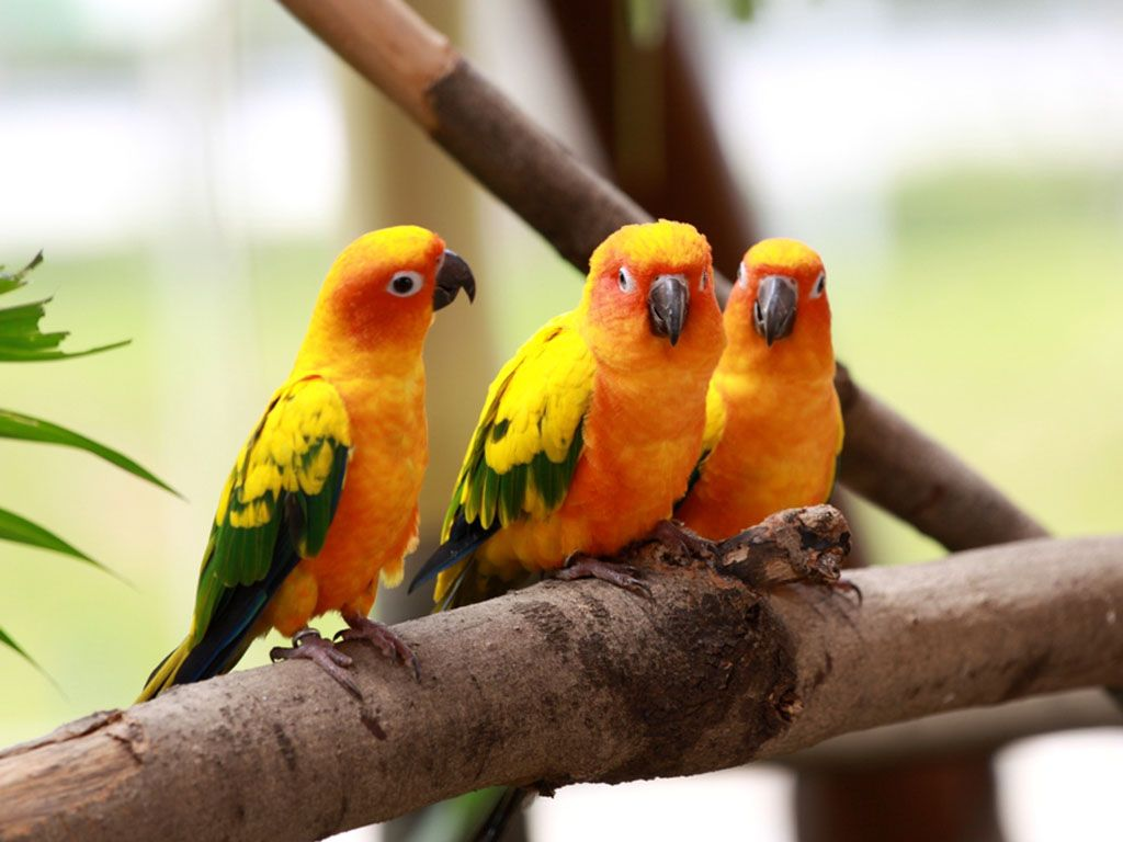 Three Yellow Lovebirds Wallpaper 1024x768