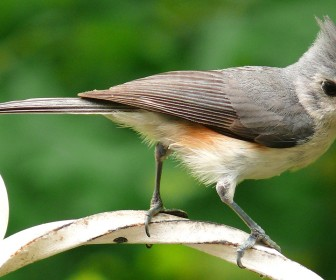 Tufted Titmouse Close Up