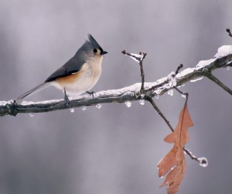 Tufted Titmouse On Icy Branch Wallpaper