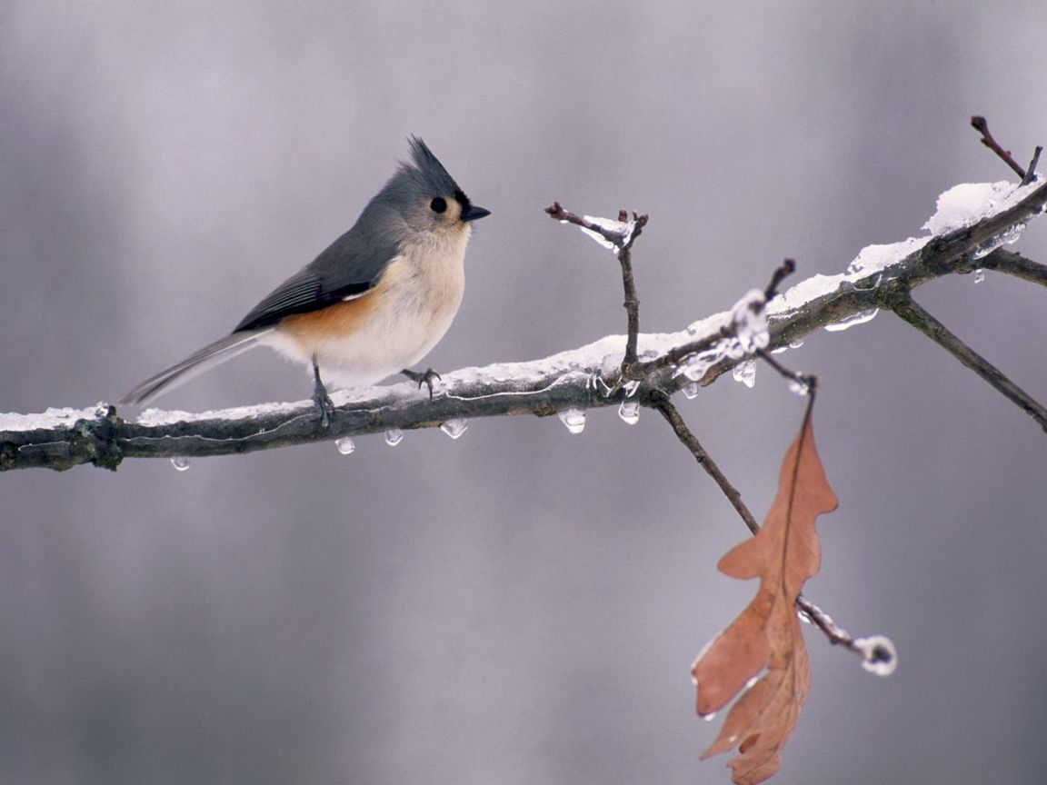 Tufted Titmouse On Icy Branch Wallpaper 1152x864