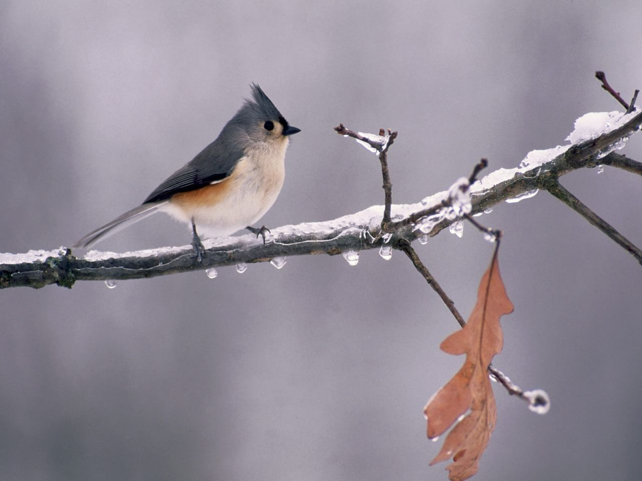 Tufted Titmouse On Icy Branch Wallpaper 1280x960