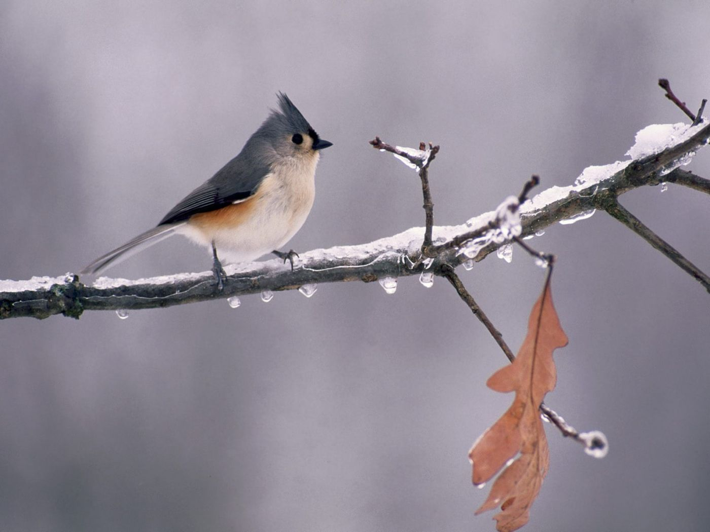 Tufted Titmouse On Icy Branch Wallpaper 1400x1050