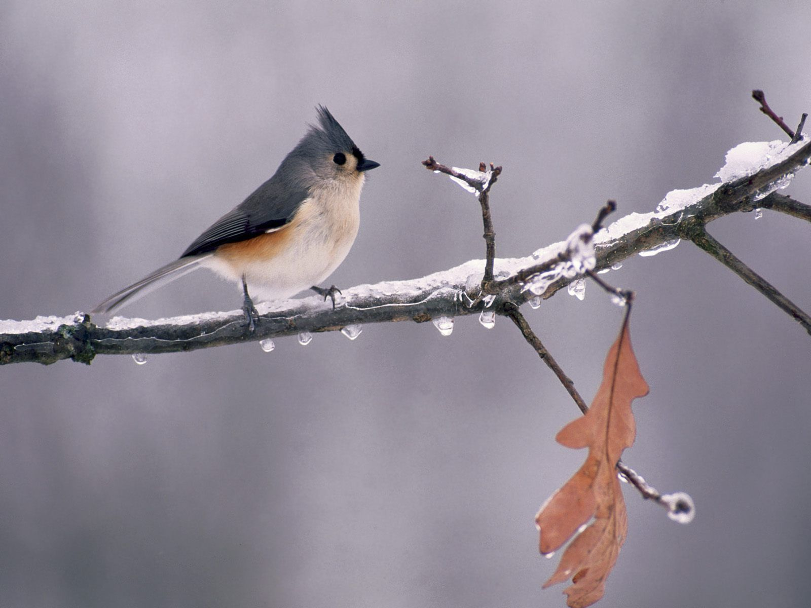 Tufted Titmouse On Icy Branch Wallpaper 1600x1200