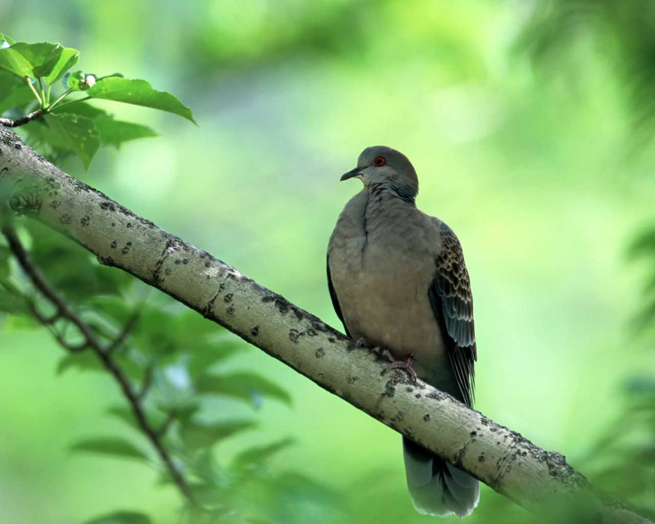 Turtle Dove Solo On Branch Wallpaper 1280x1024