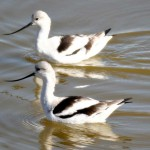 Two Avocets In The Water Wallpaper
