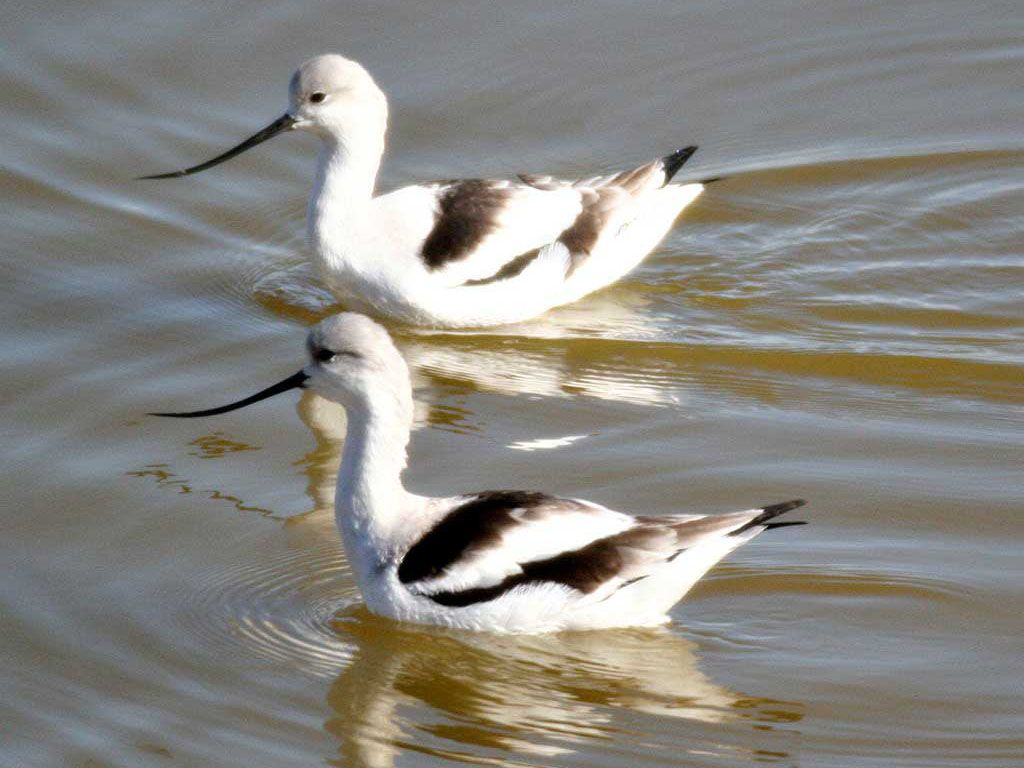 Two Avocets In The Water Wallpaper 1024x768