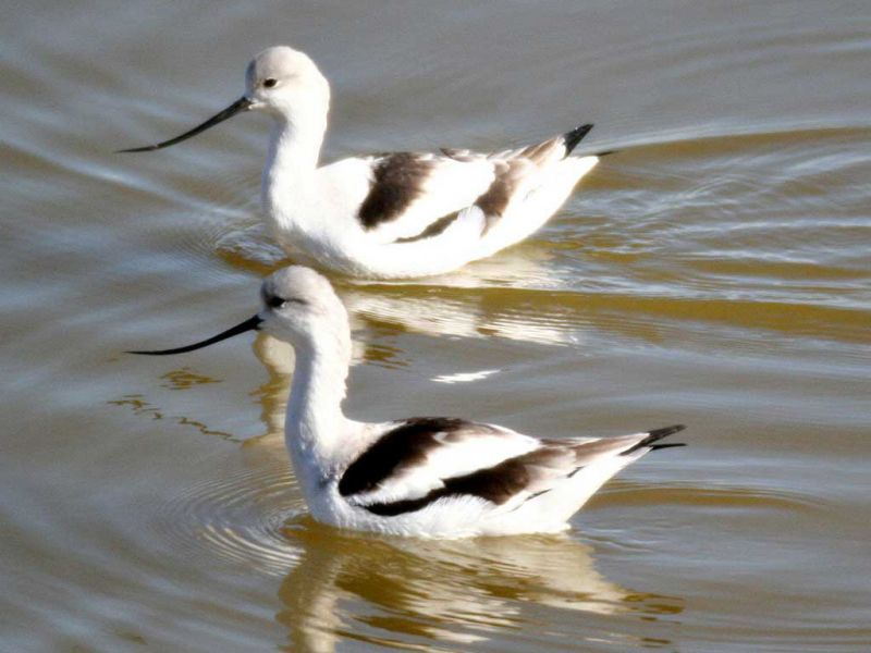 Two Avocets In The Water Wallpaper 800x600