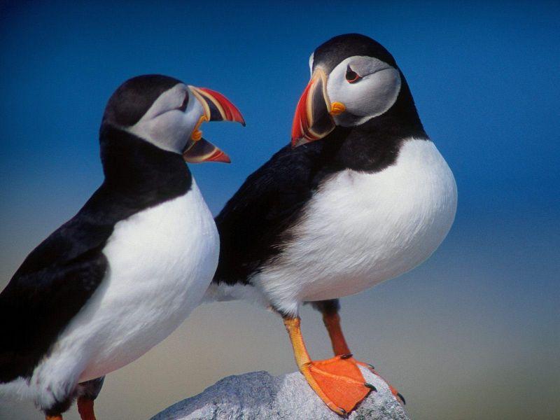 Two Birds Colorful Beaks Wallpaper 800x600