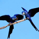 Two Blue Parrots On Branch Wallpaper