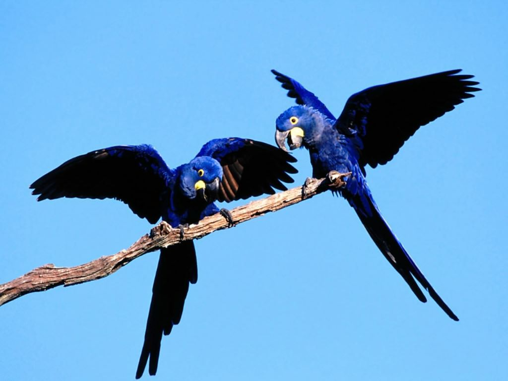 Two Blue Parrots On Branch Wallpaper 1024x768