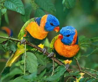 Two Colorful Parrots On Branch Wallpaper