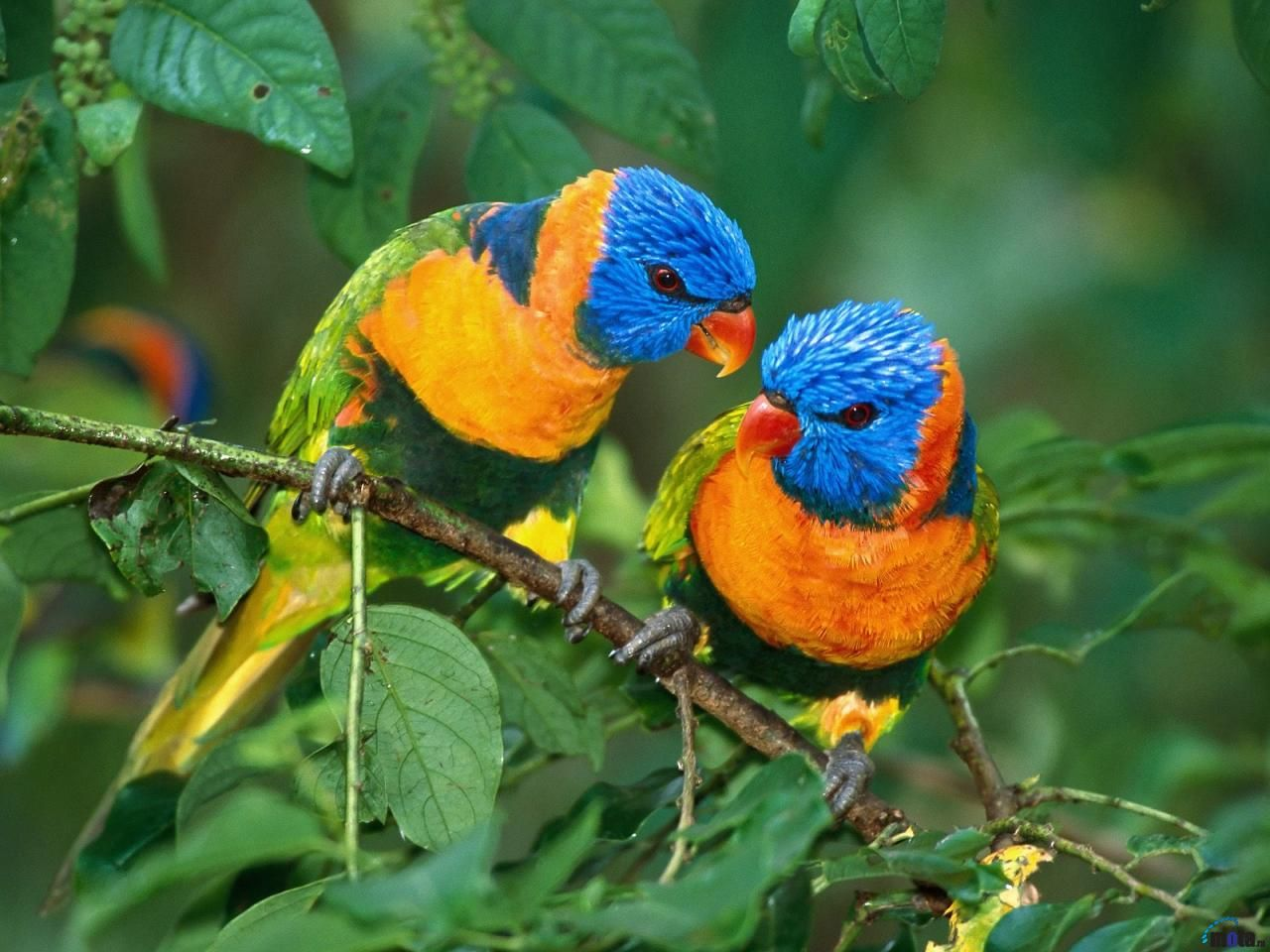Two Colorful Parrots On Branch Wallpaper 1280x960