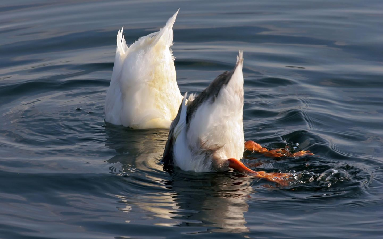 Two Duck Bottoms Wallpaper 1440x900