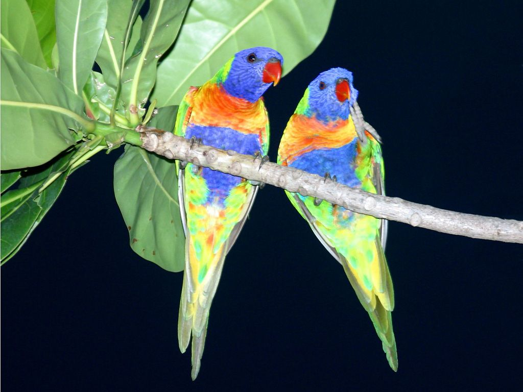 Two Parrots On Tree Wallpaper 1024x768