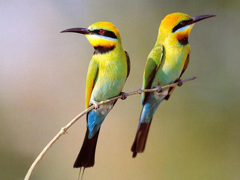 Two Small Birds On Branch Wallpaper 1024x768