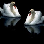 Two Swans Dark Background Wallpaper