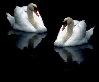 Two Swans Dark Background Wallpaper