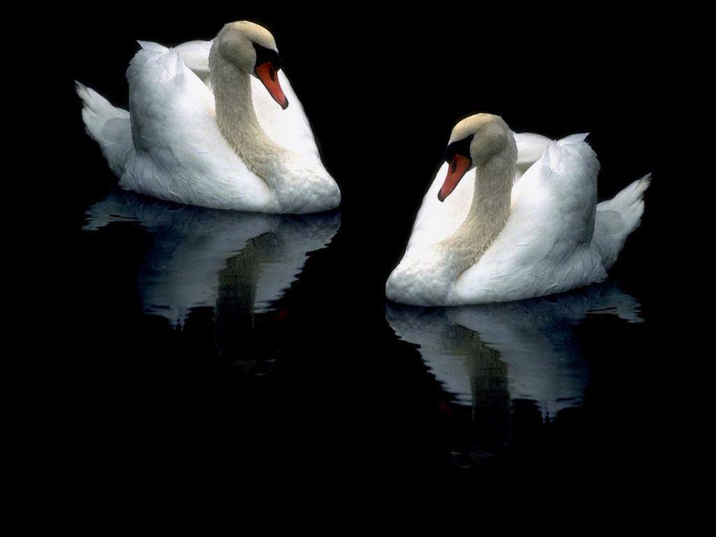 Two Swans Dark Background Wallpaper 1024x768