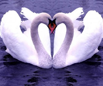 Two Swans Forming Heart Wallpaper