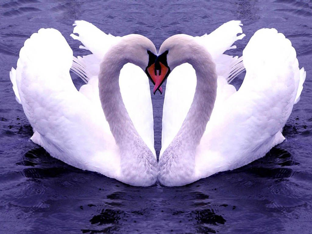 Two Swans Forming Heart Wallpaper 1024x768