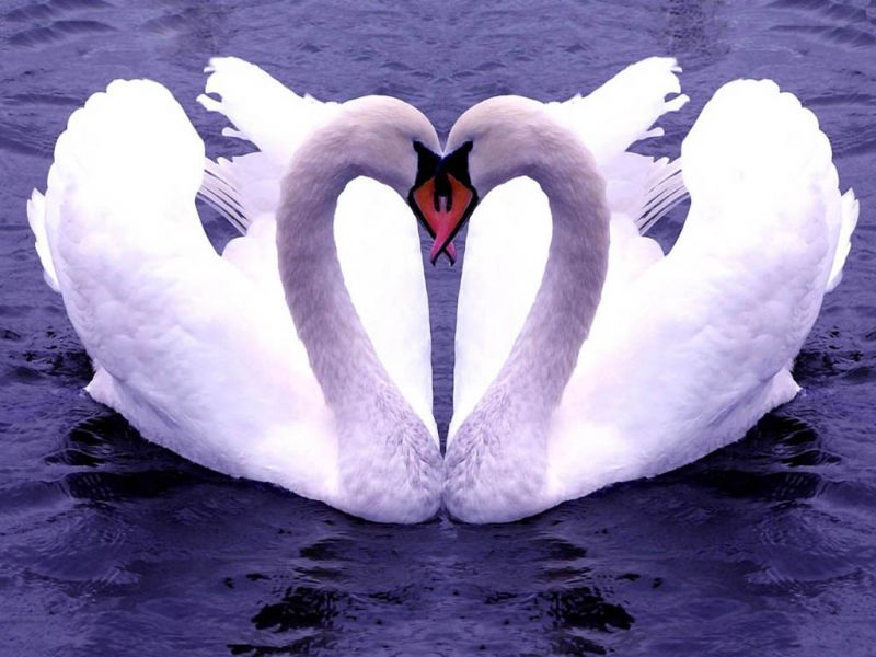 Two Swans Forming Heart Wallpaper 800x600
