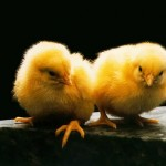 Two Yellow Chicks Portrait Wallpaper