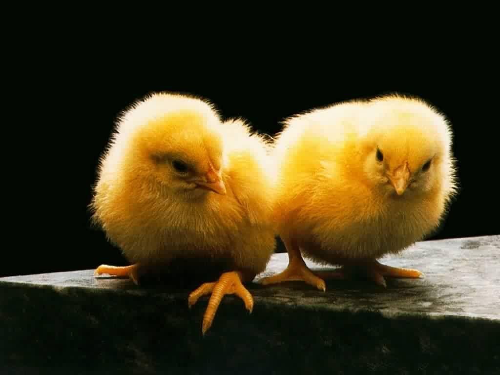Two Yellow Chicks Portrait Wallpaper 1024x768