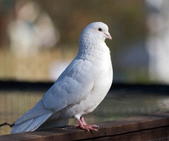 White Dove Standing Wallpaper
