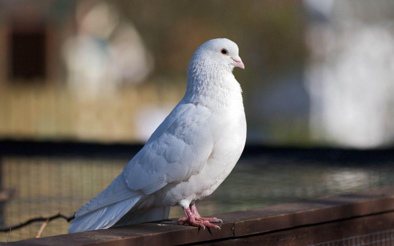 White Dove Standing Wallpaper 1440x900