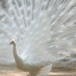White Peacock Wallpaper