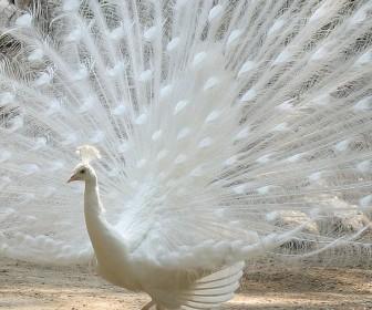 White Peacock Wallpaper