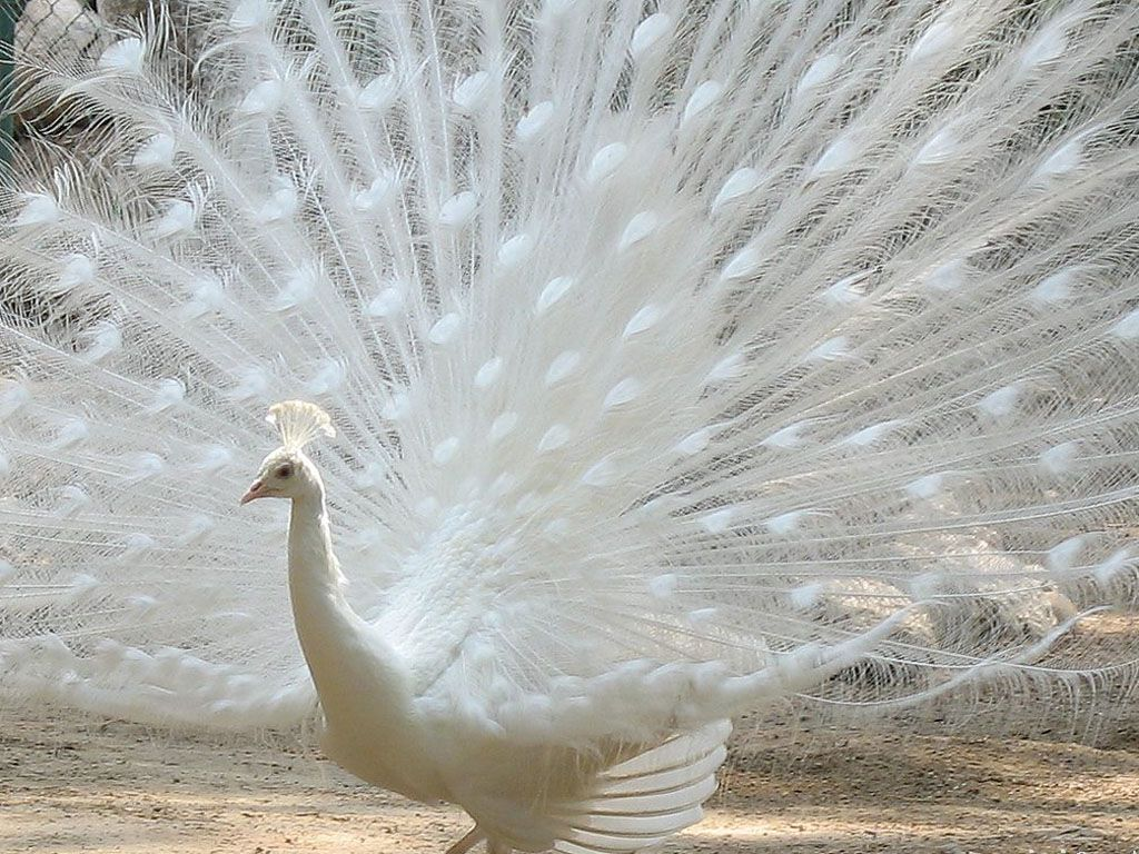 white peacock wallpaper 1024×768 - birds wallpapers