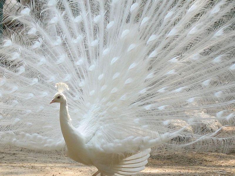 White Peacock Wallpaper 800x600
