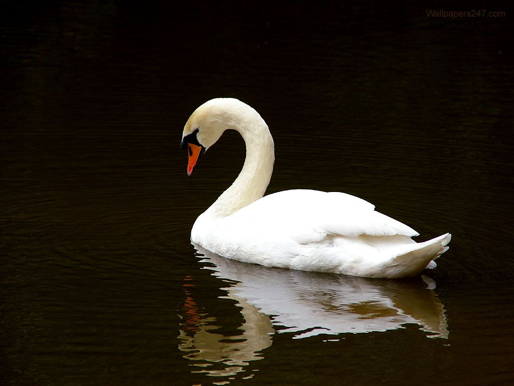 White Swan In The Water Wallpaper 1024x768