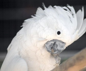 White Umbrella Cockatoo Wallpaper