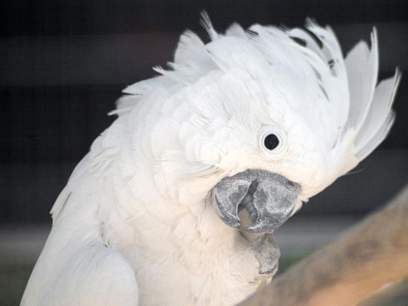 White Umbrella Cockatoo Wallpaper 800x600