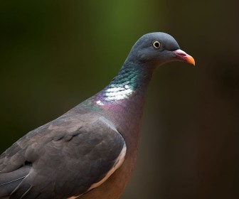 Wood Pigeon Close Up Wallpaper