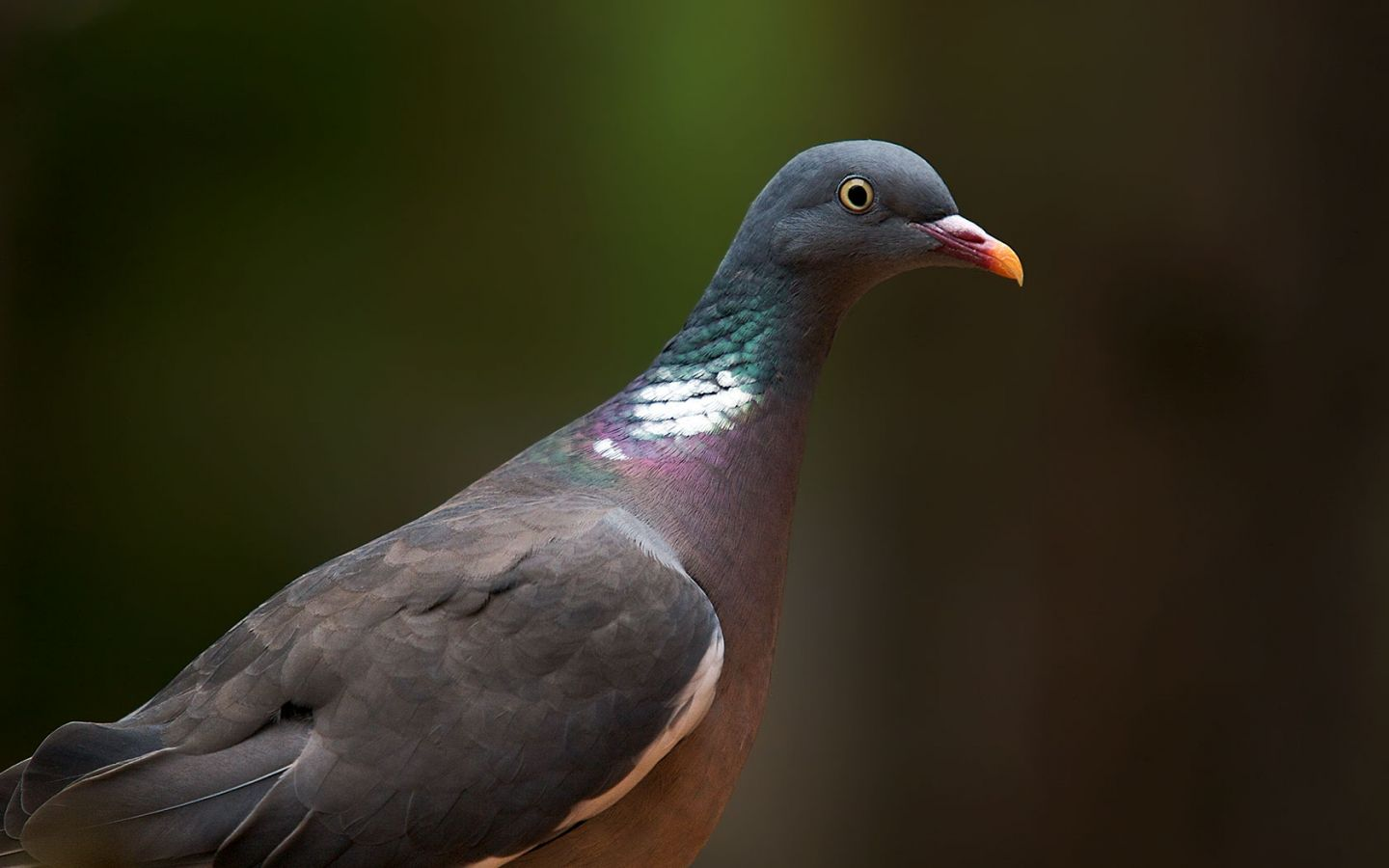 Wood Pigeon Close Up Wallpaper 1440x900