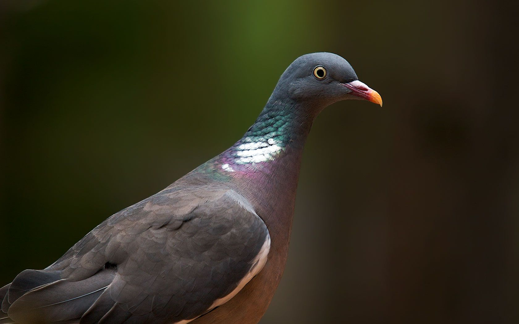 Wood Pigeon Close Up Wallpaper 1680x1050